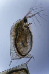 Wasserfloh - Krebstiere, Wasserfloh, Daphnia, Mikroskop, Teich, Gewässer, Gliederfüßler