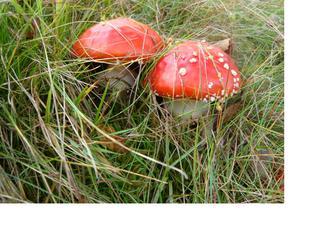 Fliegenpilz1 - Fliegenpilz, Pilz, Sporenpflanzen, giftig, ungenießbar, rot, Schwammerl, Ständerpilz, Giftpflanze, Rauschmittel, Glückssymbol