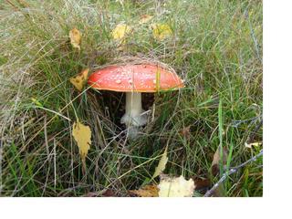Fliegenpilz2 - Fliegenpilz, Pilz, Sporenpflanzen, giftig, ungenießbar, rot, Schwammerl, Ständerpilz, Giftpflanze, Rauschmittel, Glückssymbol