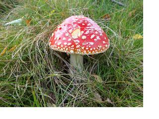 Fliegenpilz3 - Fliegenpilz, Pilz, Sporenpflanzen, giftig, ungenießbar, rot, Schwammerl, Ständerpilz, Giftpflanze, Rauschmittel, Glückssymbol