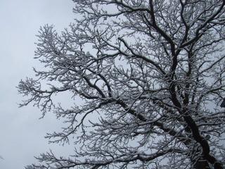 Kastanienbaum mit Schnee - Baum, Kastanie, Schnee, Winter, kalt, Kälte