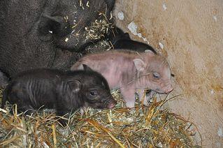 Hängebauchschweinchen - Schwein, Sau, Ferkel, Hängebauchschwein, Glücksbringer, Glück, Haustier, Tier, Säugetier, säugen, Rüssel, klein, jung, süß