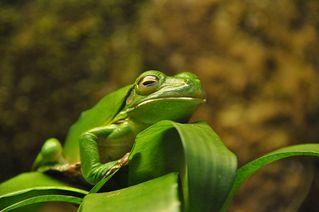 Riesenlaubfrosch - Neuguinea, Laubfrosch, Riesenlaubfrosch, grün, Kannibalismus, Korallenfinger, Tarnung, Amphibien, Lurch, Unke, Metamorphose, springen, Tarnfarbe