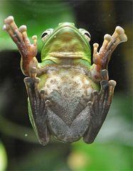 Laubfrosch - Laubfrosch, grün, Unke, Lurch, Amphibien, Frosch, Fuß, Unterseite, Adhäsion, Molekularkraft