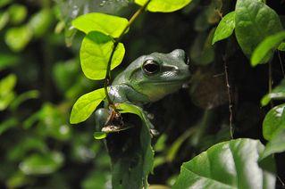 Frosch - Frosch, Unke, Lurch, Amphibien, Metamorphose, grün, Tarnung, springen, Tarnfarbe