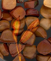 Samen einer gelbblühenden Lilie - Lilie, Samen, Makro, Bildmontage