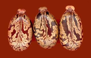 Samen vom Rizinus - Rizinus, Samen, Makro, Samenschale, giftig