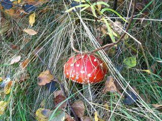 Fliegenpilz - Fliegenpilz, Herbst, Laub, Gras, giftig, Amanita muscaria, Rauschmittel, Glück