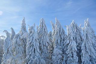 Winterliche Fichten # 2 - Winter, Frost, Eis, Raureif, Reif, frieren, eisig, kalt, Schnee, Schneebruch, Fichte, Nadelbaum