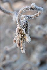 Winterdetail - Winter, Frost, Eis, Raureif, Reif, frieren, eisig, kalt, Haselnuss, Korkenzieherhasel