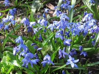 Skilla - Skilla, Sibirischer Blaustern, Frühblüher, Frühling, Scilla sibirica, Blausternchen