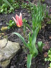 Tulpe - Tulpe, Frühblüher, Frühling, Zwiebel, Tulipan