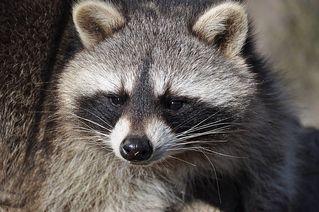 Waschbär #1 - Waschbär, Säugetier, Kleinbär, Raubtier, Allesfresser, waschen
