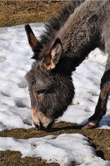 Esel #1 - Esel, Haustier, Pferd, Unpaarhufer, Schimpfwort, stur, Grautier, Lasttier
