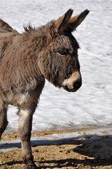 Esel #2 - Esel, Haustier, Pferd, Unpaarhufer, Schimpfwort, stur, Grautier, Lasttier