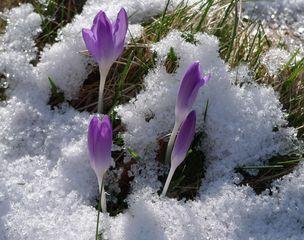 ... und es wird dennoch Frühling - Krokus, Blüten, Frühling, Frühlingsanfang
