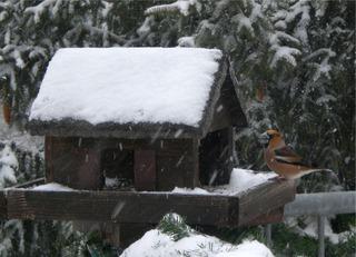 Kernbeißer - Kernbeißer, Coccothraustes coccothraustes, Familie der Finken, Fringillidae, Vogel, Vogelhaus, Winter, Fütterung
