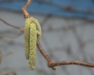 endlich Frühling #1 - Frühling, Haselkätzchen, Korkenzieherhasel, gemeine Hasel, Haselnussstrauch, Blütenkätzchen, männlich, Birkengewächs
