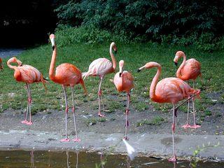 Flamingos - Zoo, Tiere, Flamingo, Flamingos, Freigehege, Gefieder, rosa, lange Beine, Schwimmhäute