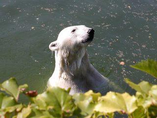 Eisbär - Tiere, Eisbär, Wasser, Säugetier, Schreibanlass