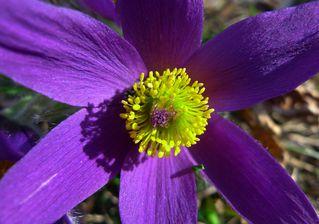 Kuhschelle #2 - Hahnenfußgewächse, Ranunculaceae, Staubgefäße, Pulsatilla vulgaris, Küchenschelle