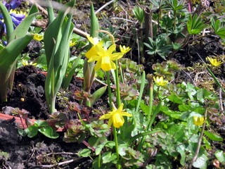 Osterglocke - Osterglocke, Narzisse, Narcissus pseudonarcissus, Frühblüher, Frühling, Zwiebel