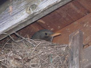 Amsel im Nest - Amsel, Nest, Brüten, Eier, Frühling, Vogel, junge Vögel, Vogeleltern