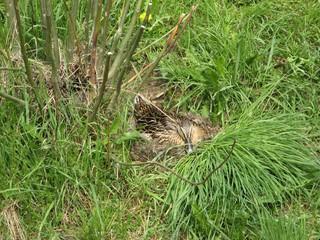 Ente beim Brüten #2 - Ente, Vogel, Brut, brüten, Nest, Eier, Tarnung, Gefieder, braun, Weibchen, Tarnfarbe