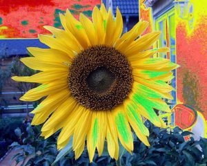 Computergrafik Sonnenblume - Garten, Herbst, Sonnenblume, Computergrafik, Farben, Kontrast