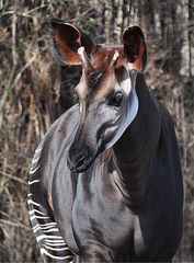 Okapi # 2 - Okapi, Waldgiraffe, Kurzhalsgiraffe, Giraffe, Paarhufer, Wiederkäuer, Pflanzenfresser, Vegetarier, tagaktiv, Streifen, braun, weiß, schwarz, Fell, Haarkleid, gestreift, Kopf, Körper