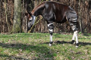 Okapi # 1 - Okapi, Waldgiraffe, Kurzhalsgiraffe, Giraffe, Paarhufer, Wiederkäuer, Pflanzenfresser, Vegetarier, tagaktiv, Streifen, braun, weiß, schwarz, Fell, Haarkleid, gestreift, Körper, Kopf, Gliedmaßen