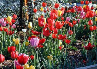 Tulpen am Straßenrand - Frühling, Straßenrand, Tulpen, Beet, bunt