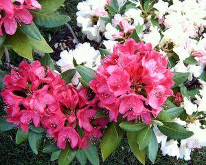 Rhododendron im Garten - Garten, Blumen, Rhododendron, rot, weiß, Rosenbaum, immergrün
