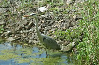 Graureiher #1 - Gefieder, Standvogel, Schreitvogel, grau, Fischreiher