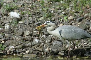 Graureiher #2 - Gefieder, Standvogel, Schreitvogel, grau, Fischreiher, Frosch