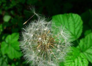 Pusteblume - Korbblütengewächse, Samen, Windverbreitung, Früchte, Löwenzahn, Pusteblume, Wildpflanzen, Wiesenblumen, Kuhblume, Meditation, Ruhe