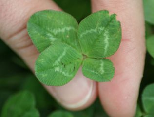 Glücksklee - Klee, Glücksklee, Glück, Schmetterlingsblütler, Glücksbringer, Glückssymbol, Mutation, Symbol, vier