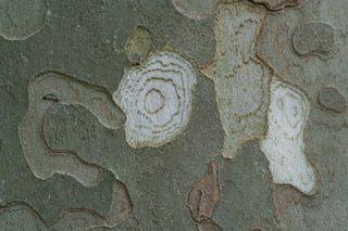 Was_ist_das#Pflanzen - Fotorätsel, Platane, Rinde