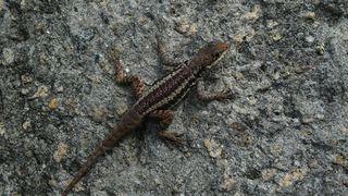 Eidechse - Eidechse, Reptilien, Echsen, Lacerta, Lacertidae, Schuppenkriechtiere, wechselwarm