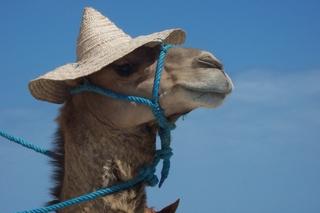Kamel mit Strohhut - Kamel, lustig, Strohhut, Hut, Schreibanlass