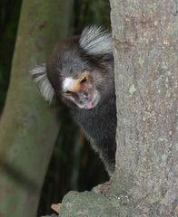 Mohrenmaki #1 - Mohrenmaki, Lemur, Lemuren, Callithrix penicillata