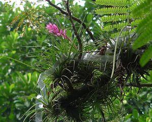 Orchidee - Orchidee, Orchideen, Blüte, Blüten, rosa, Stempel, Pflanze, Pflanzen, Blume, Blumen, Phalaenopsis