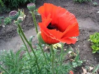 Mohnblüte - Mohn, Mohnblüte, Samenkapsel, Kapselfrucht, Blüte