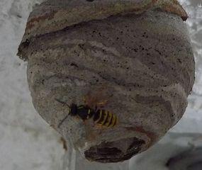 Wespennenst #1 - Wespe, Insekt, Waben