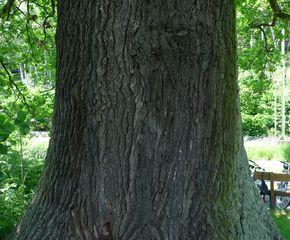 Eiche - Eiche, Rinde, Wald, Stamm, Laubbaum, rauh, alt, groß, Buchengewächs, Holz, Baumstamm, Baum