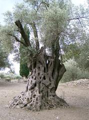 Olivenbaum - Echter Ölbaum, Olea europaea, Nutzpflanze, immergrün, Stamm, Ölbaum, Olivenbaum, Kreta