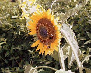 Sonnenblume mit Hummel - Garten, Sommer, Sonnenblume, Hummel