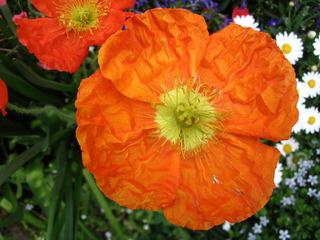 Mohnblüte #1 - Mohn, Mohnblüte, Samenkapsel, Kapselfrucht, Blüte