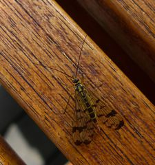 Schnabelfliege  #1 - Skorpionsfliege, Mecoptera, Panorpa cognata