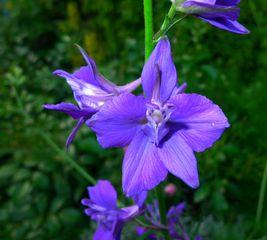 Ritterspornblüte #1 - Rittersporn, Hahnenfußgewächs, Blütenstand, traubig, Blüte, Pflanze, Blume, Frühling, blau, Stängel, grün, gespornt, Sporn, Natur, giftig, Heilpflanze